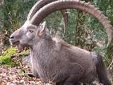 Alpine ibex